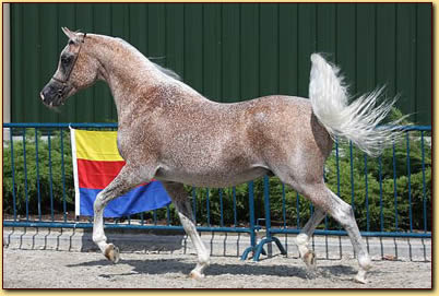 verkoop arabisch paard